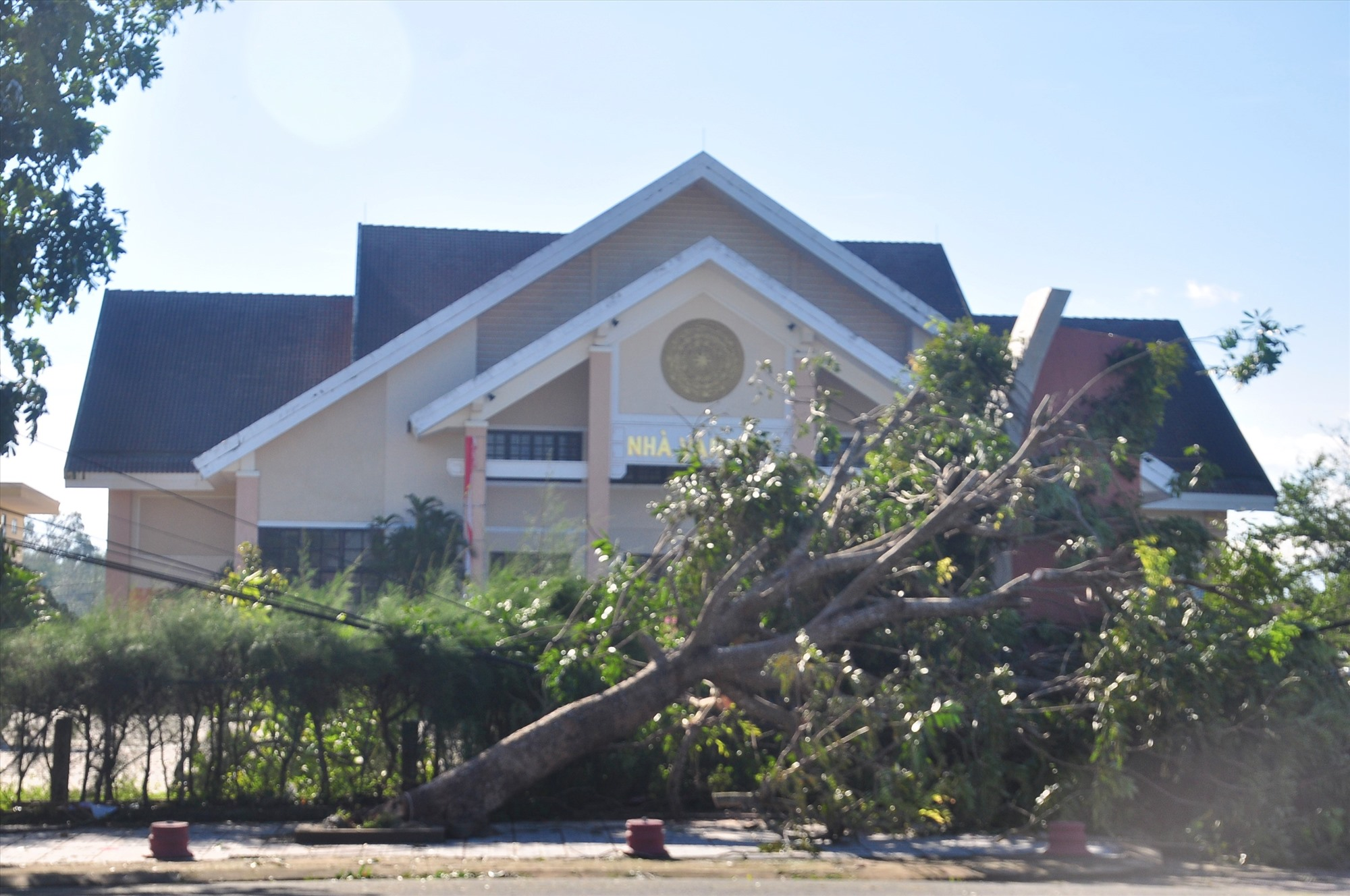 Một cây xanh ngã đổ trước Trung tâm Văn hóa huyện Phú Ninh. Ảnh: VINH ANH