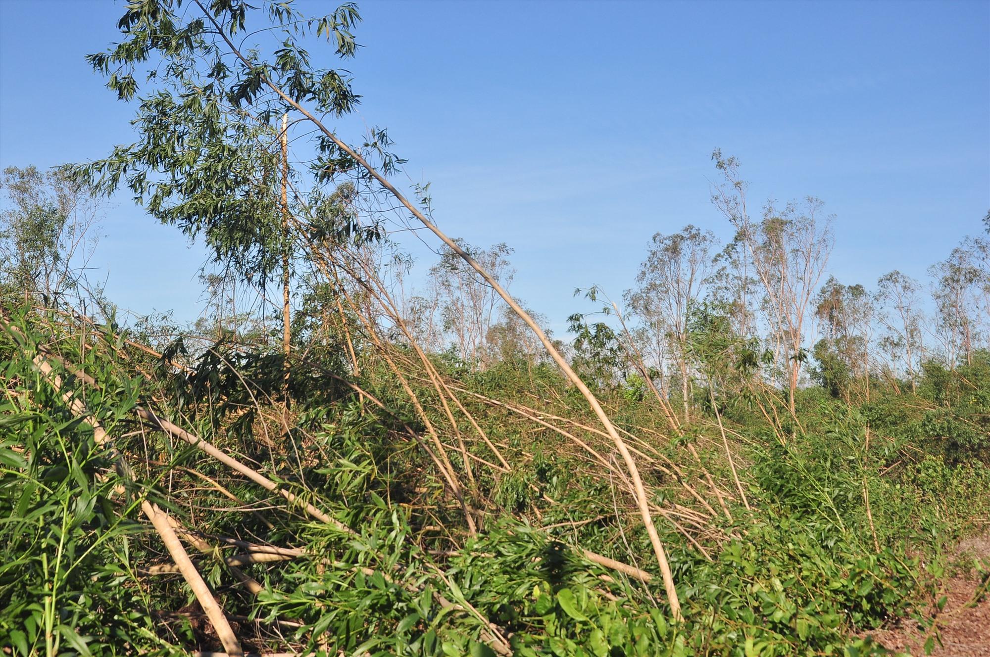 Nhiều diện tích keo nguyên liệu của người dân Phú Ninh bị ngã đổ. Ảnh: VINH ANH