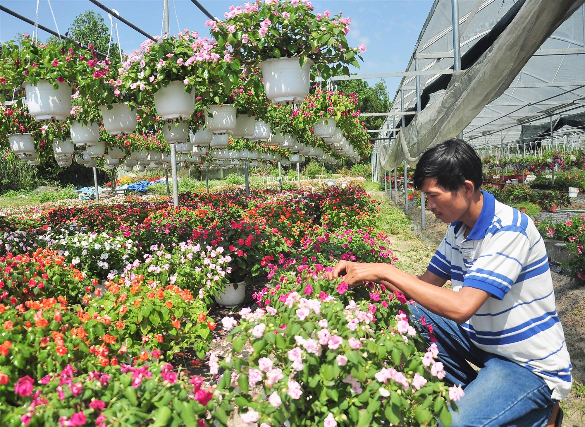 Nhiều mô hình trồng hoa, cây cảnh ở Phú Ninh mang lại nguồn thu nhập cao cho nông dân. Ảnh: N.S
