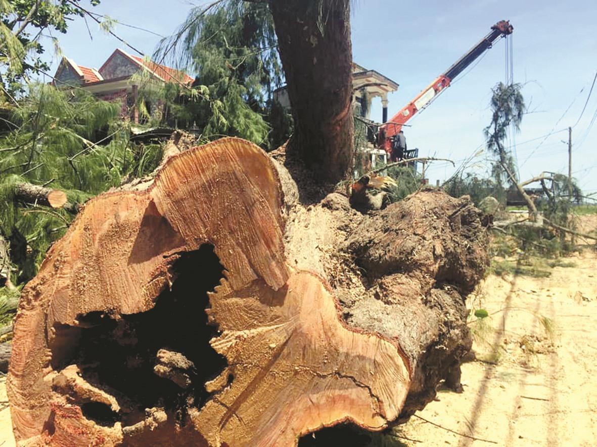 Cây dương chợ Mới bị đốn hạ sau bão số 5.