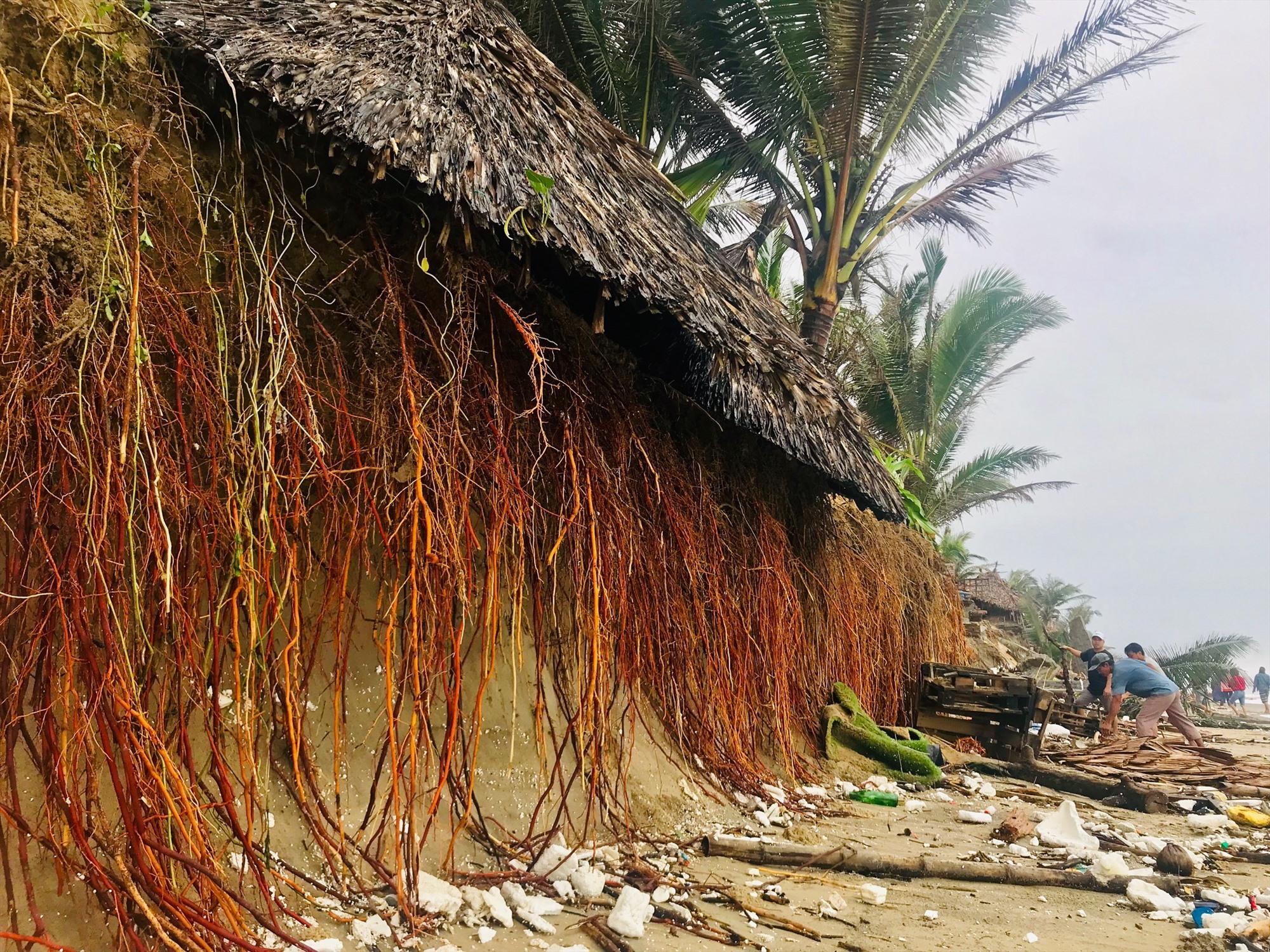 Hàng dừa trơ trọi rễ. Ảnh: Q.T
