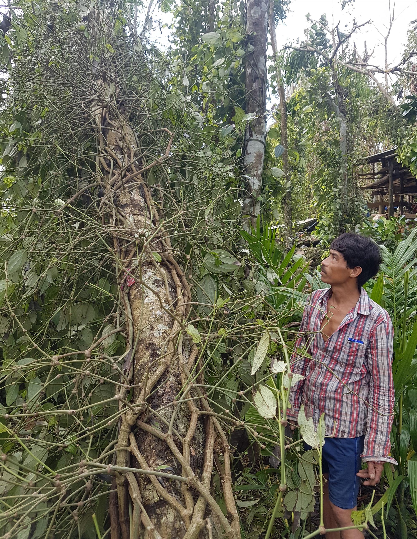 Nông dân Tiên Phước đang nỗ lực cứu các choái tiêu bị ngã đổ do bão số 9. Ảnh: D.L