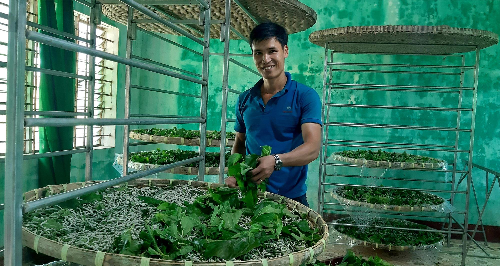 Mô hình trồng dâu nuôi tằm thương phẩm theo chuỗi giá trị sản phẩm ở xã Duy Châu (Duy Xuyên) mang lại hiệu quả kinh tế cao. Ảnh: VĂN SỰ