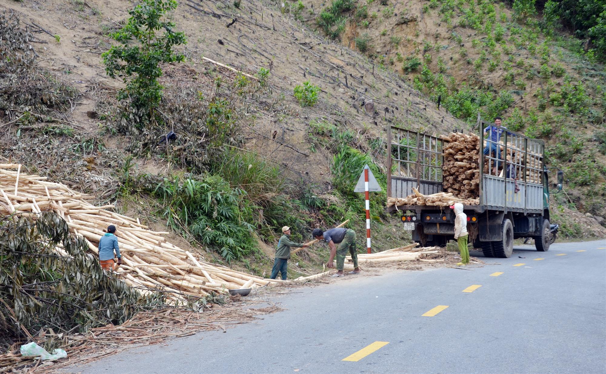 Phát triển mạnh rừng trồng sản xuất đã làm giảm chức năng phòng hộ của rừng tự nhiên. TRONG ẢNH: Khai thác keo ở xã Trà Tập (Nam Trà My). Ảnh: H.P