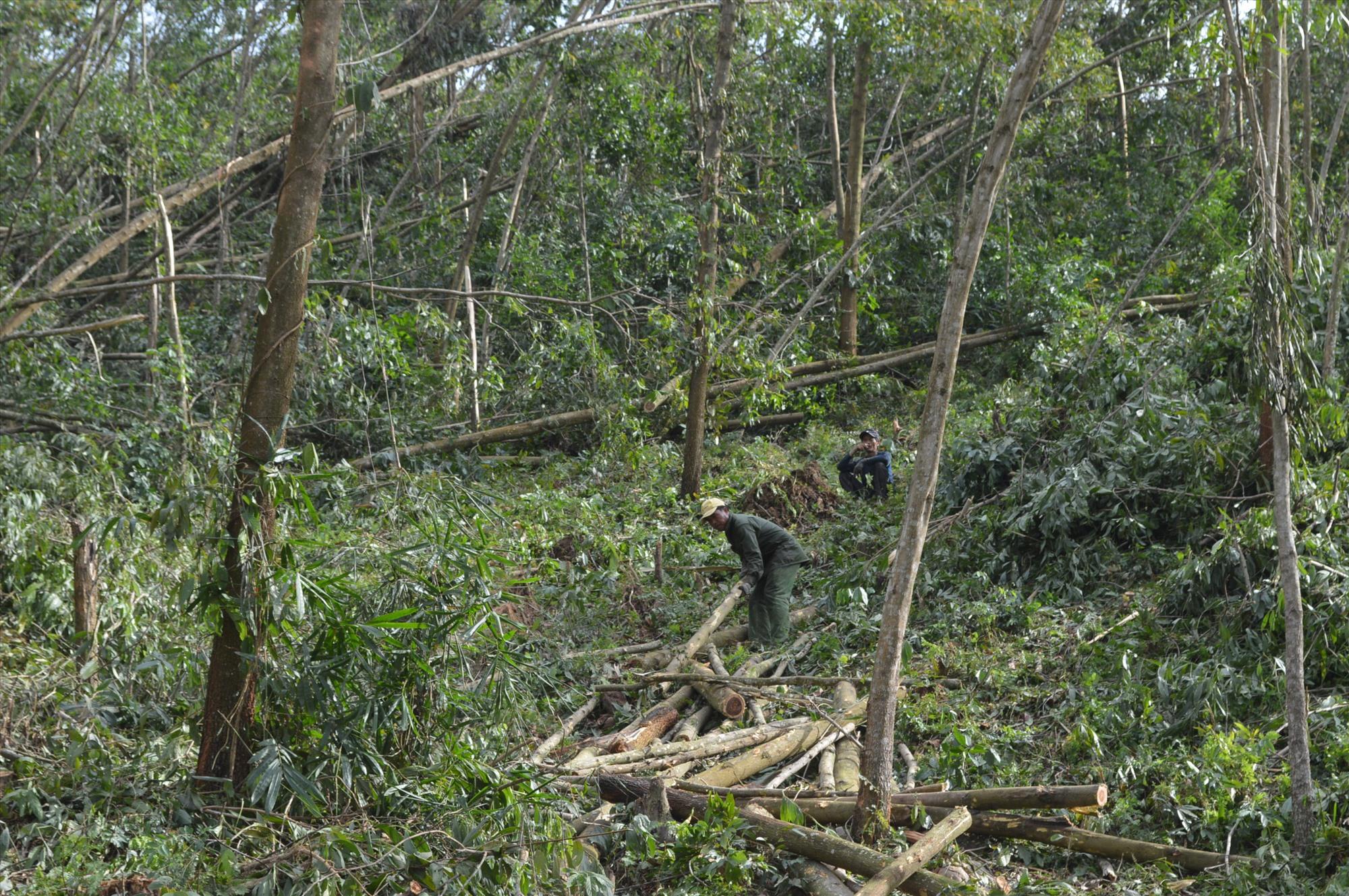 Nông dân gặp khó khăn khi nhiều rừng keo bị ngã đổ do bão số 9. Ảnh: NHAN KHANG