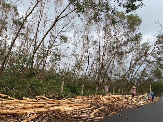 Ngành lâm nghiệp đang kiến nghị Chính phủ hỗ trợ kinh phí phục hồi sản xuất lâm nghiệp. TRONG ẢNH: Thu hoạch keo đổ ngã sau bão số 9 tại xã Tam Phú, Tam Kỳ. Ảnh: H.P