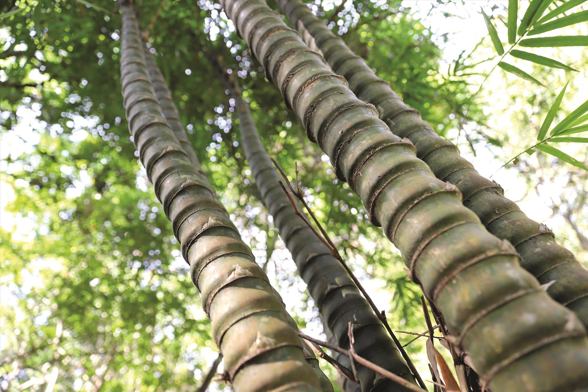 Tre bụng phật, một loài được thầy Tường ươm trồng từ những ngày đầu tiên mở vườn bảo tồn tre, trúc.