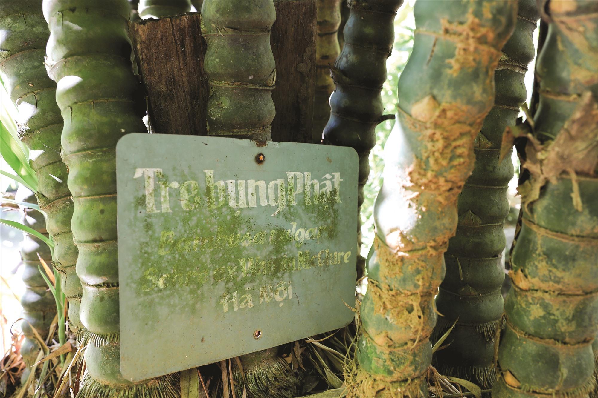 Dưới mỗi khóm tre, trúc, thầy Tường cẩn thận đặt bảng chú thích cũng như địa danh sưu tầm loài.