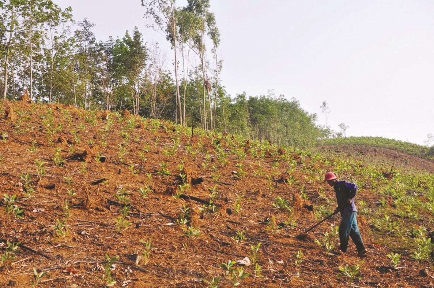 Những năm qua, việc phát triển rừng trồng gỗ lớn tại Quảng Nam gặp nhiều khó khăn. Ảnh: H.P