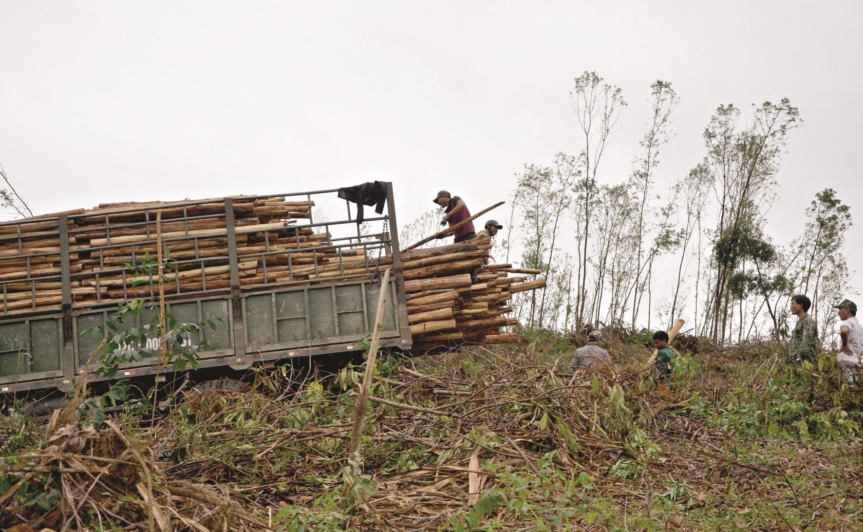 Khai thác keo hư hại sau bão tại thị trấn Tân Bình (Hiệp Đức). Ảnh: H.P