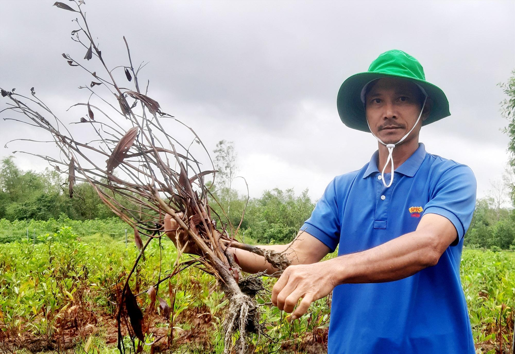 Nhiều cây keo mẹ trong vườn ươm của ông Nguyễn Hồng Dũng bị khô héo, chết la liệt. Ảnh: H.N