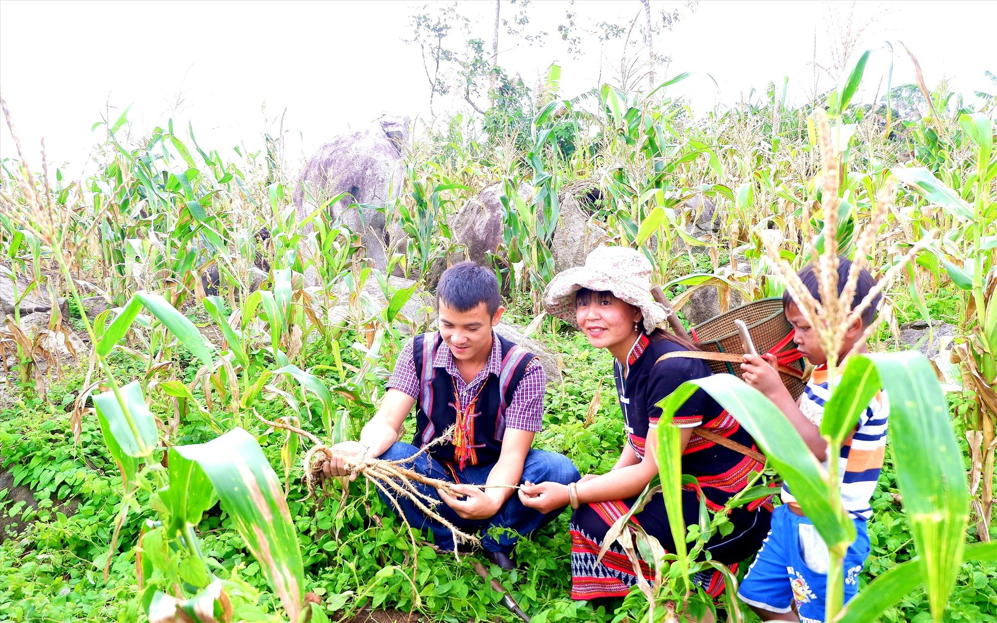 Trồng đảng sâm xen canh với bắp nếp giúp nhiều hộ dân đồng bào dân tộc thiểu số của huyện Tây Giang có thêm nguồn thu nhập. Ảnh: N.P