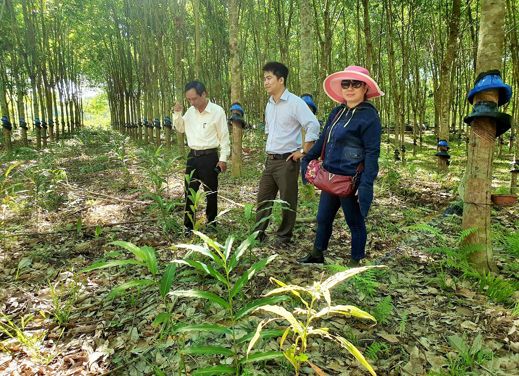 Những năm qua, người dân ở nhiều địa phương miền núi trong tỉnh đầu tư phát triển mạnh mô hình trồng cây sa nhân dưới tán rừng cao su. Ảnh: N.P