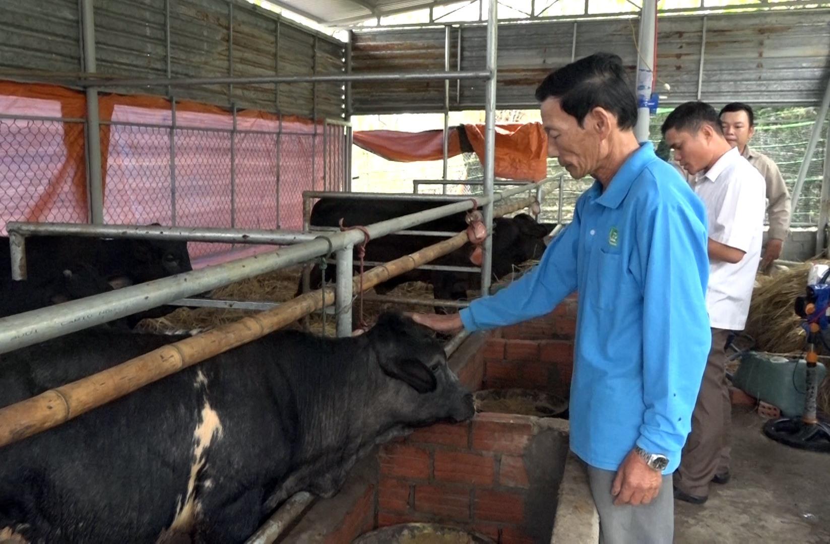 Ông Trần Ngọc Tín (áo xanh) đang chăm sóc đàn bò 3B của mình. Ảnh: MT.