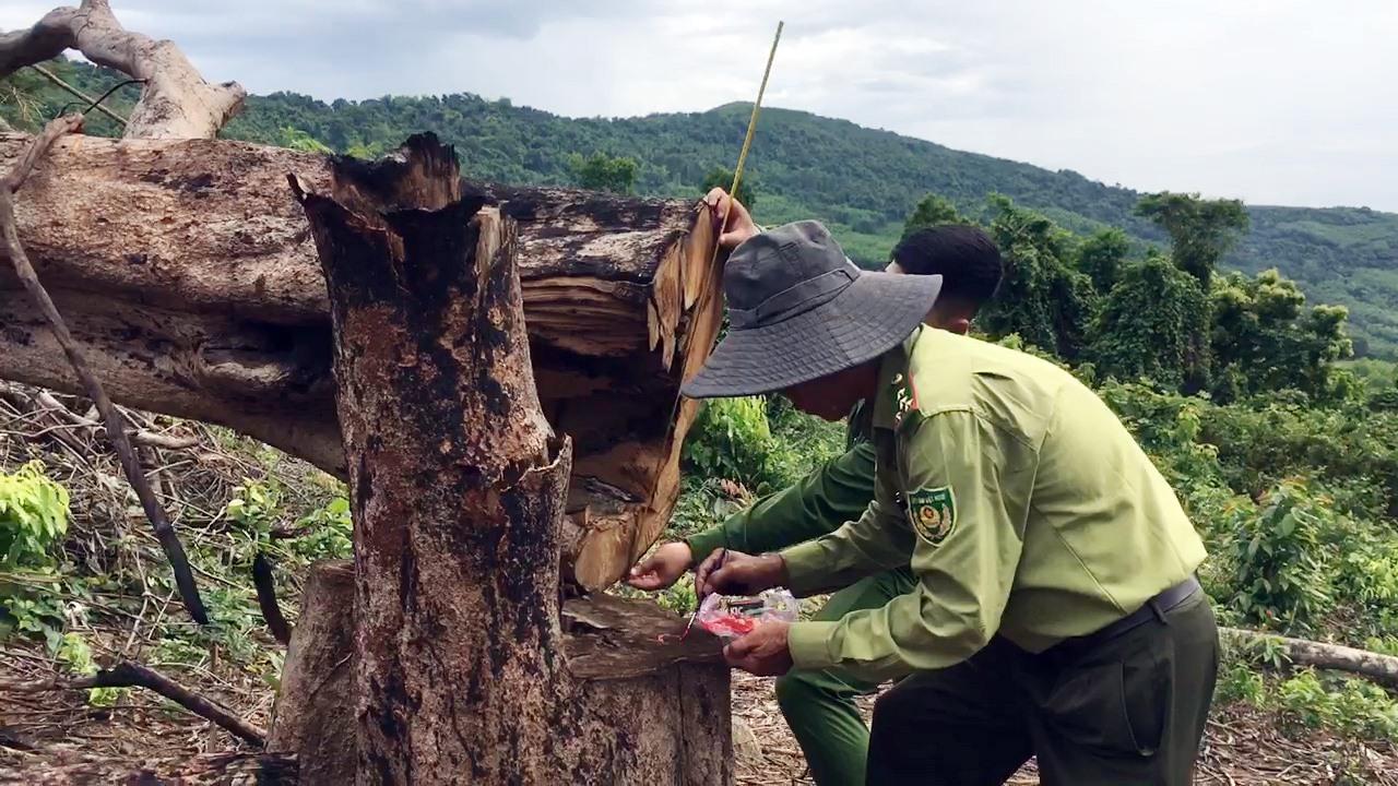 Năm 2020, cơ quan chức năng tại huyện Thăng Bình phát hiện 8 vụ khai thác rừng trái phép.