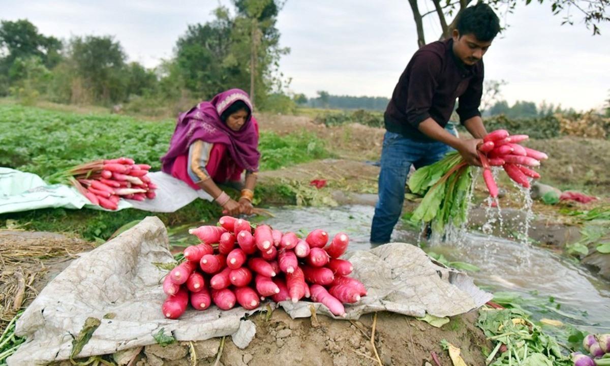 Nông dân Ấn Độ vào mùa thu hoạch. Ảnh: Globaltimes