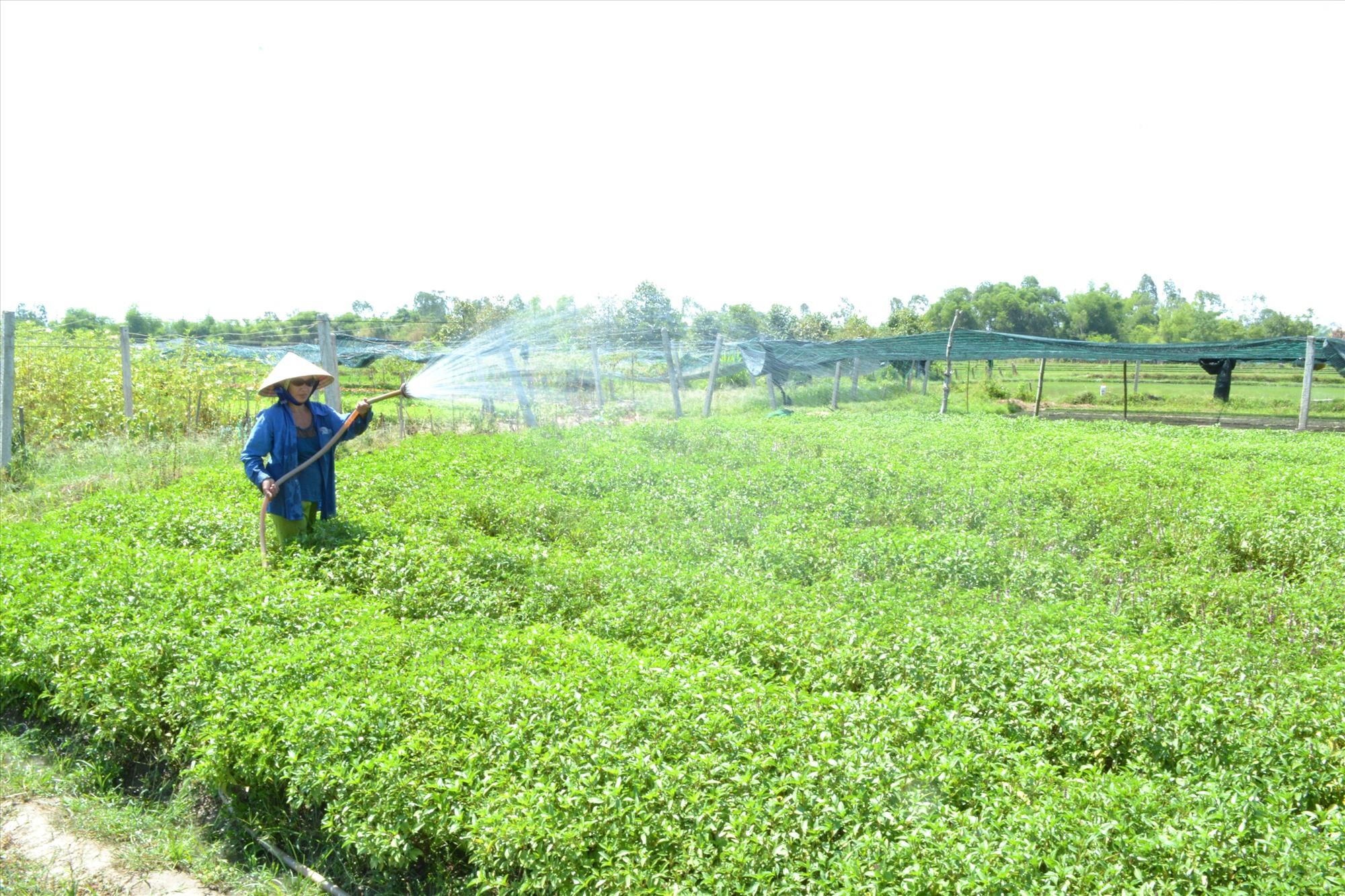 Trong năm nay, toàn tỉnh đã chuyển đổi gần 2 nghìn héc ta đất để tập trung sản xuất nông nghiệp hàng hóa. Ảnh: VIỆT NGUYỄN
