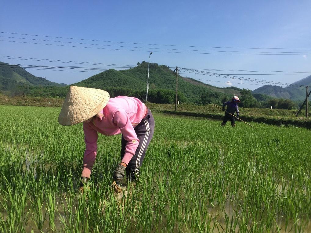 Nông dân huyện Nông Sơn thường xuyên ra đồng thăm lúa vụ đông xuân.