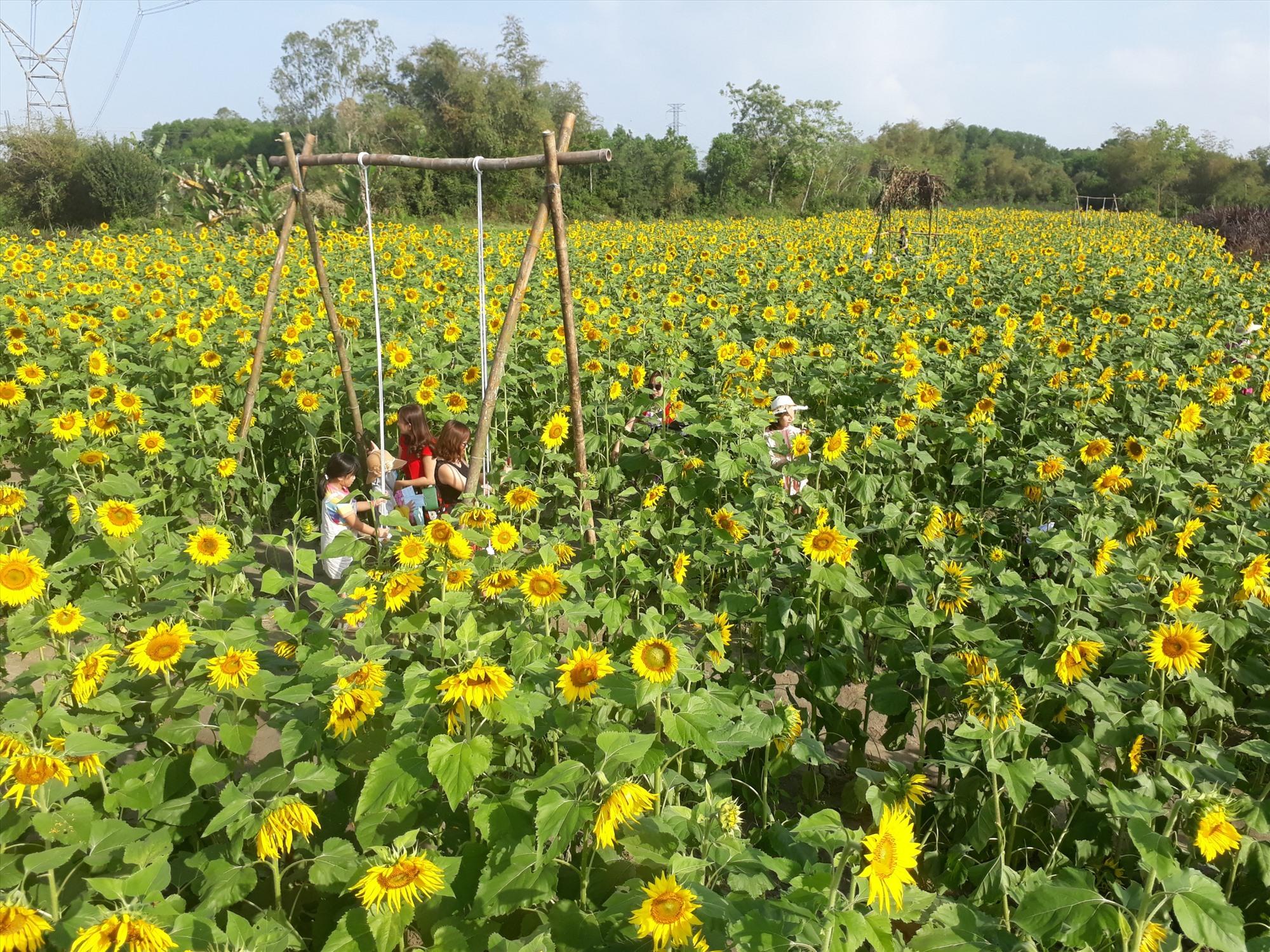 Cánh đồng hoa hướng dương tại phường Hòa Thuận thu hút du khách đến check-in. Ảnh: T.Q