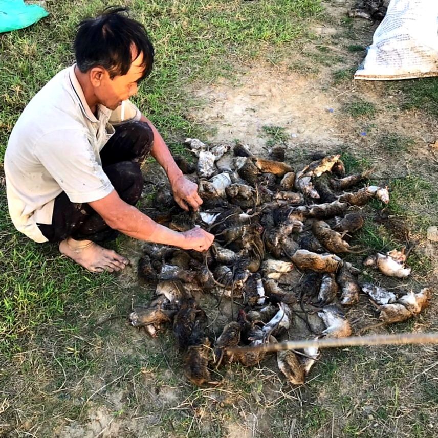 Trước khi gieo sạ lúa, nông dân toàn tỉnh đã ra quân tiêu diệt cả trăm nghìn con chuột nhưng từ đầu vụ đông xuân đến nay loài sinh vật này vẫn bùng phát mạnh. Ảnh: N.P