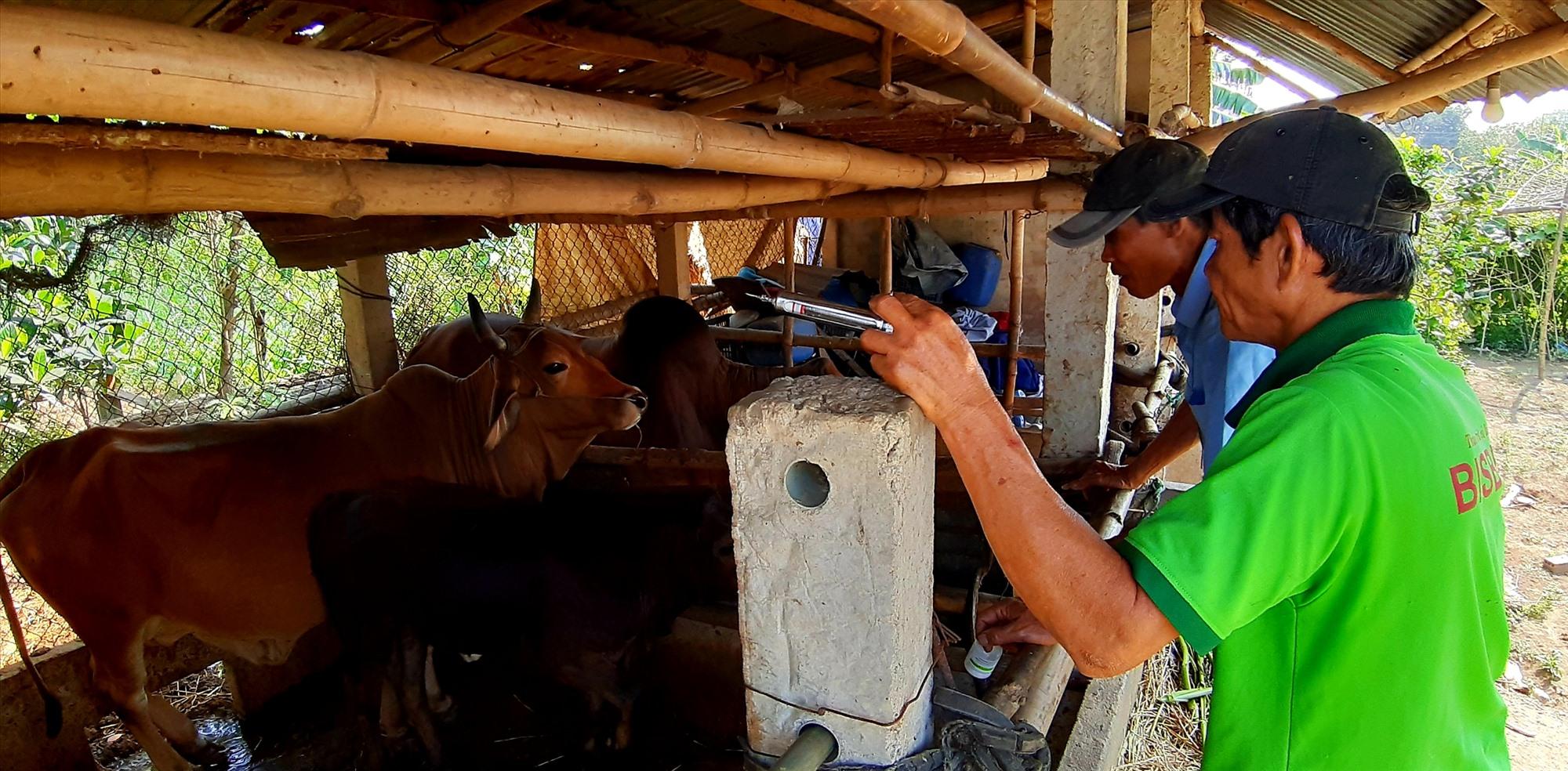 Lực lượng thú y cơ sở của huyện Duy Xuyên đang khẩn trương triển khai tiêm vắc xin phòng bệnh LMLM cho đàn gia súc. Ảnh: T.S