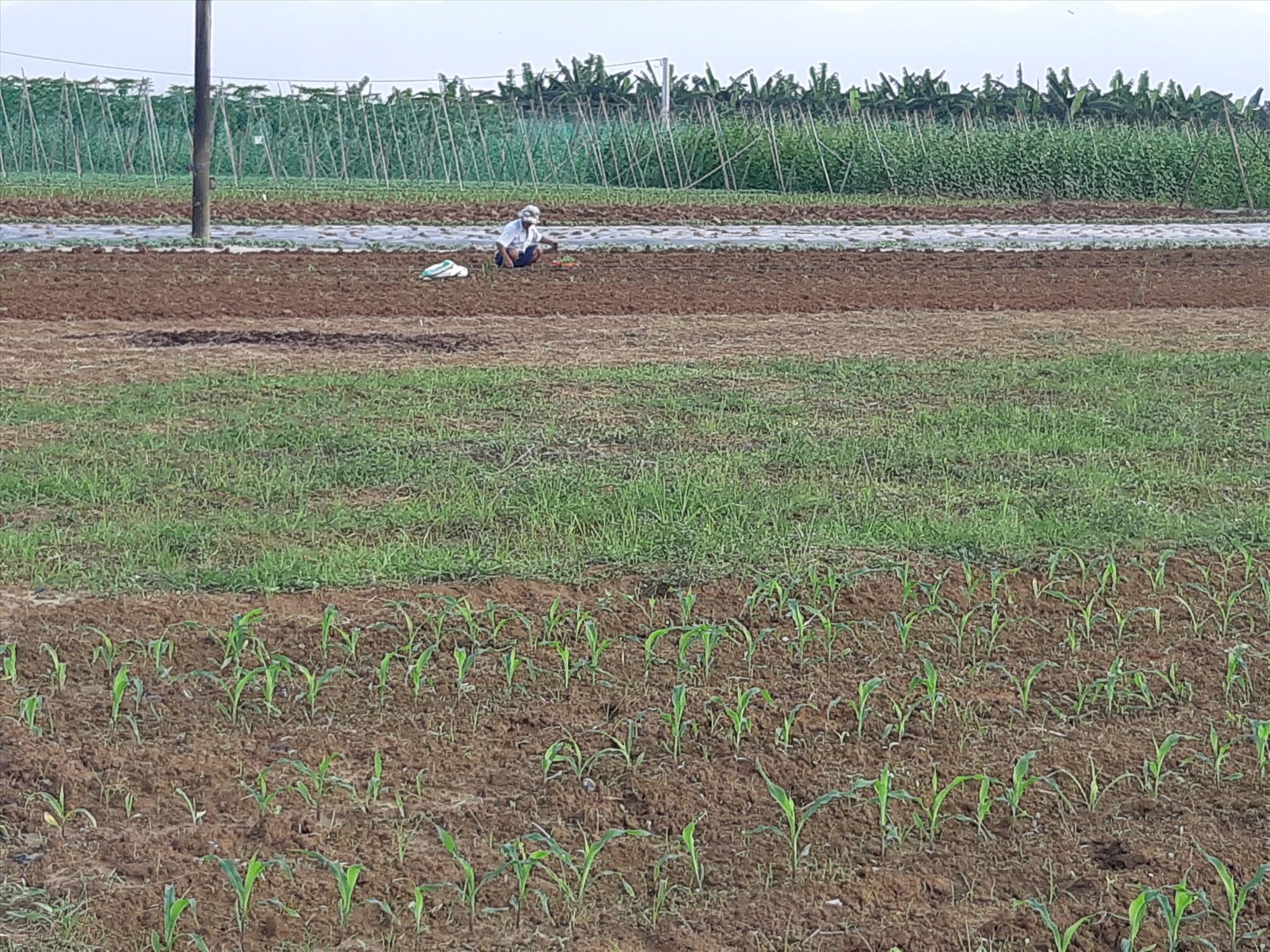 Việc hạn chế trồng đại trà khiến bắp nếp được giá.