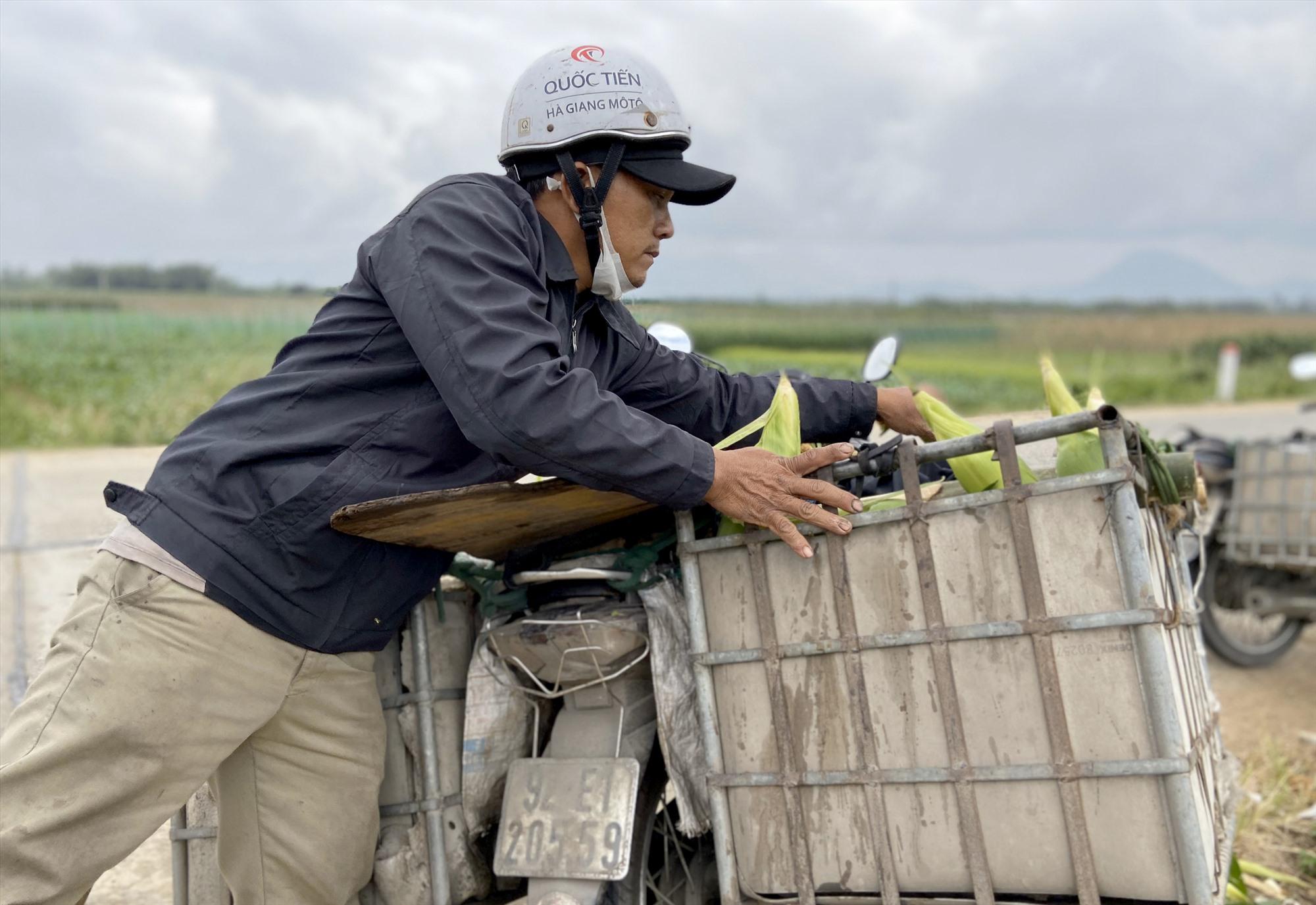 Thương lái mua bắp ngay tại ruộng với giá 45 nghìn/chục. Ảnh: MỸ LIÊN