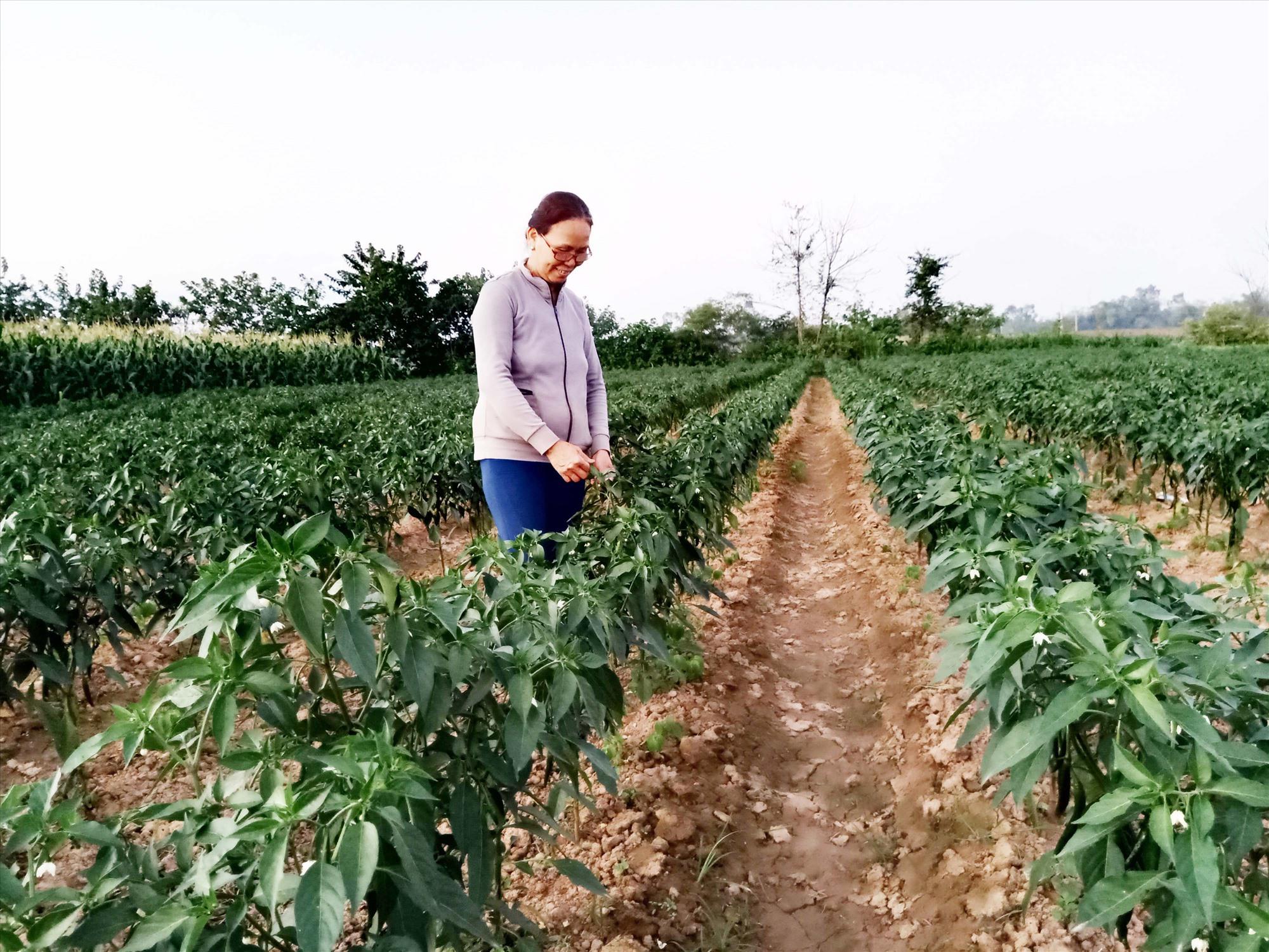 Cây ớt giống Phù Sa 138 tại thôn Lệ Bắc, xã Duy Châu được mùa nhưng giá mỗi ký ớt tươi chín đỏ chỉ được mua 4 - 5 nghìn đồng. Ảnh: TRIÊU NHAN