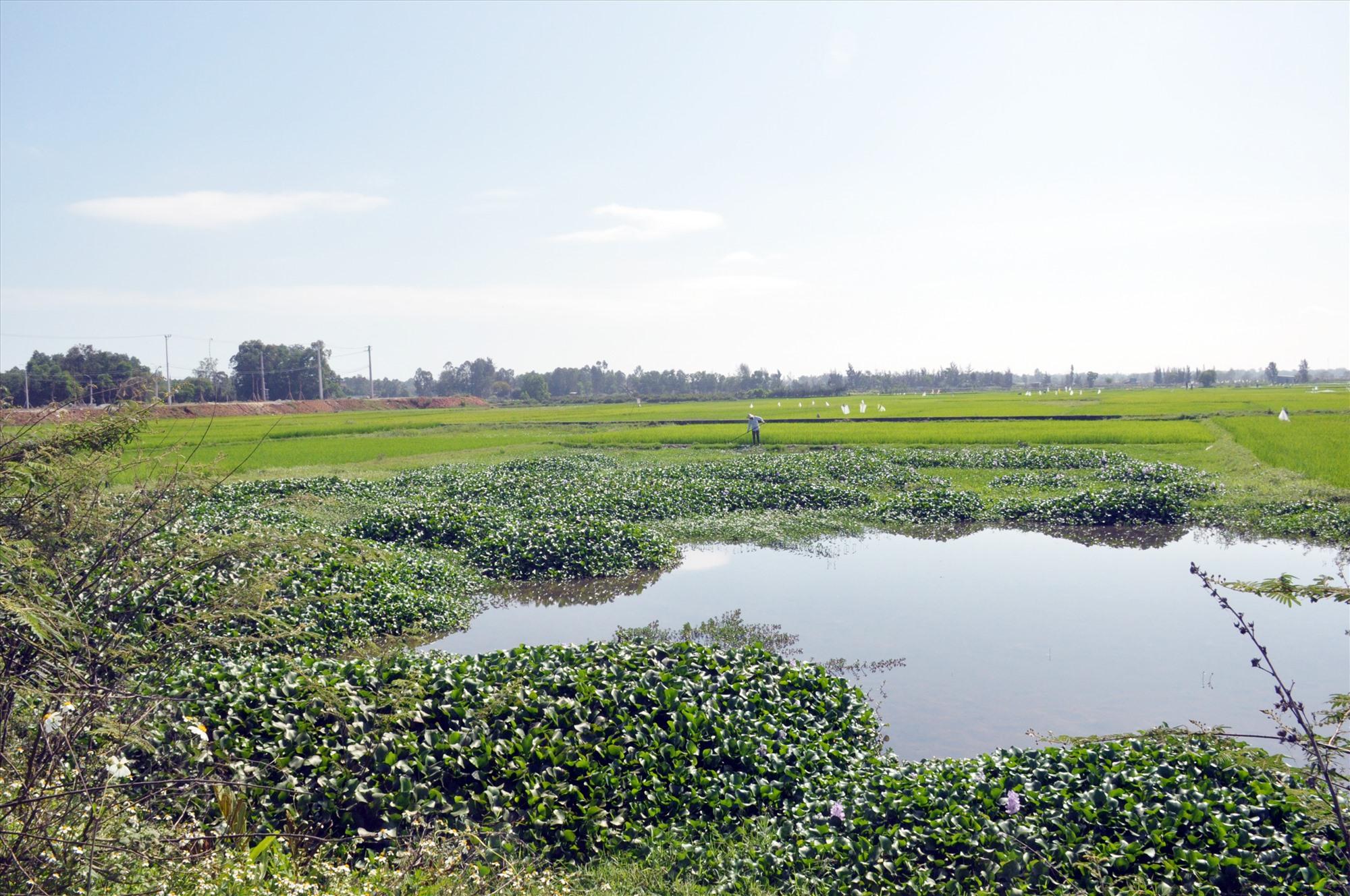 Diện tích ruộng của các hộ dân nằm ngay miệng hệ thống cống thoát nước nên bị ngập úng không thể sản xuất. Ảnh: N.Đ