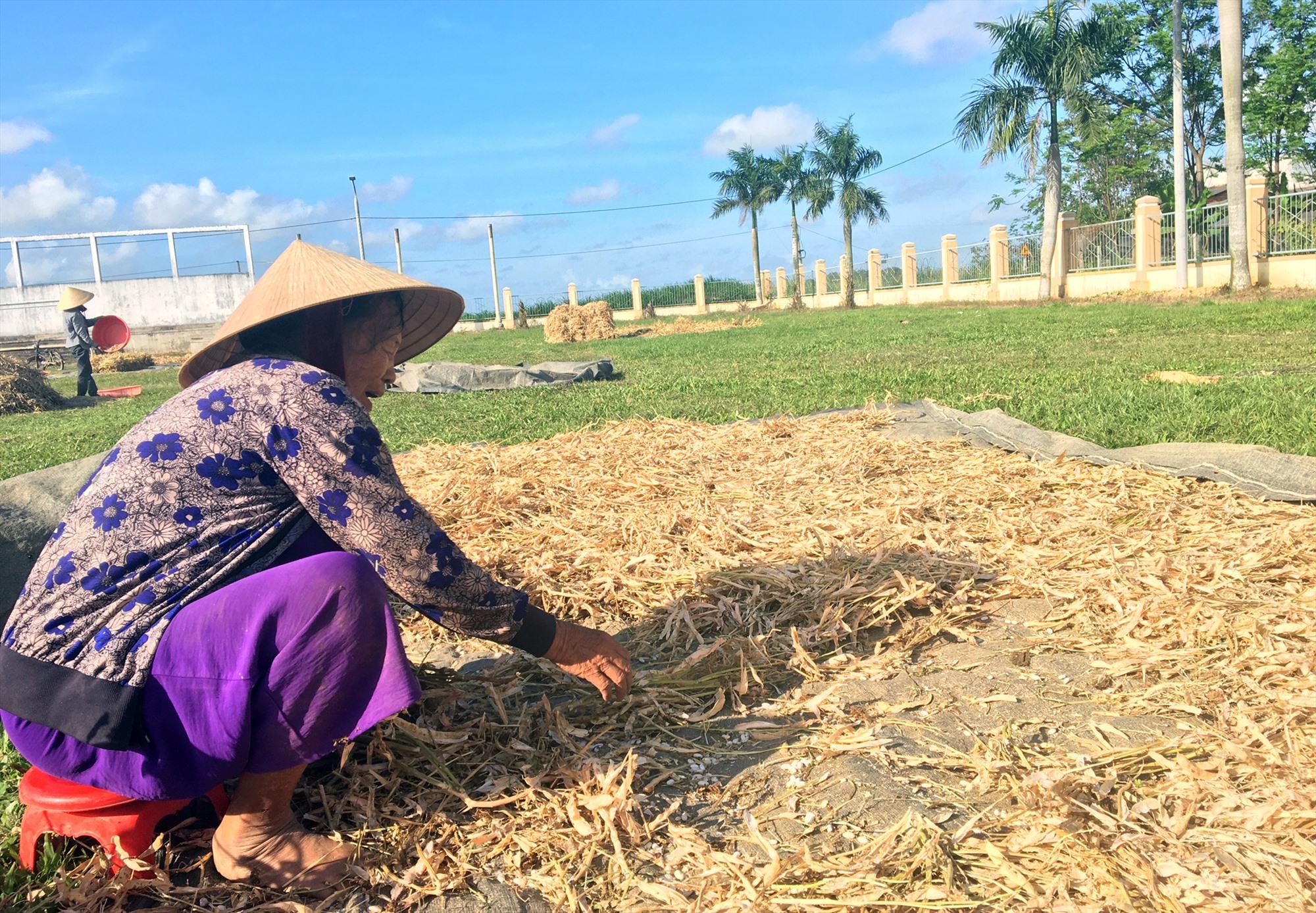 Nông dân xã Điện Quang phơi đậu cô ve sau khi thu hoạch. Ảnh: N.TRANG
