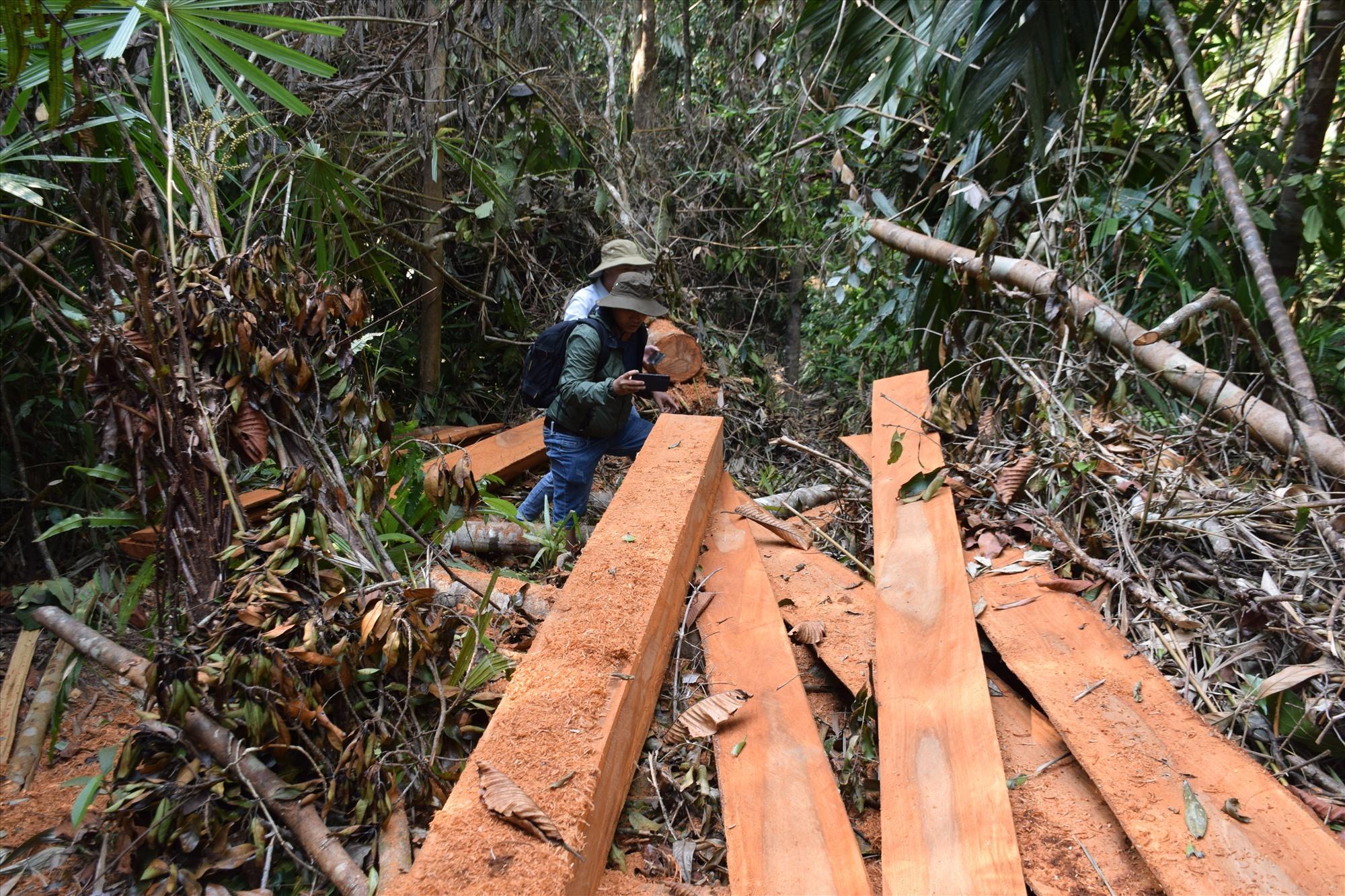Hiện trường phá rừng đầu nguồn sông Nước Oa, Bắc Trà My hồi tháng 3.2020. Ảnh: T.N