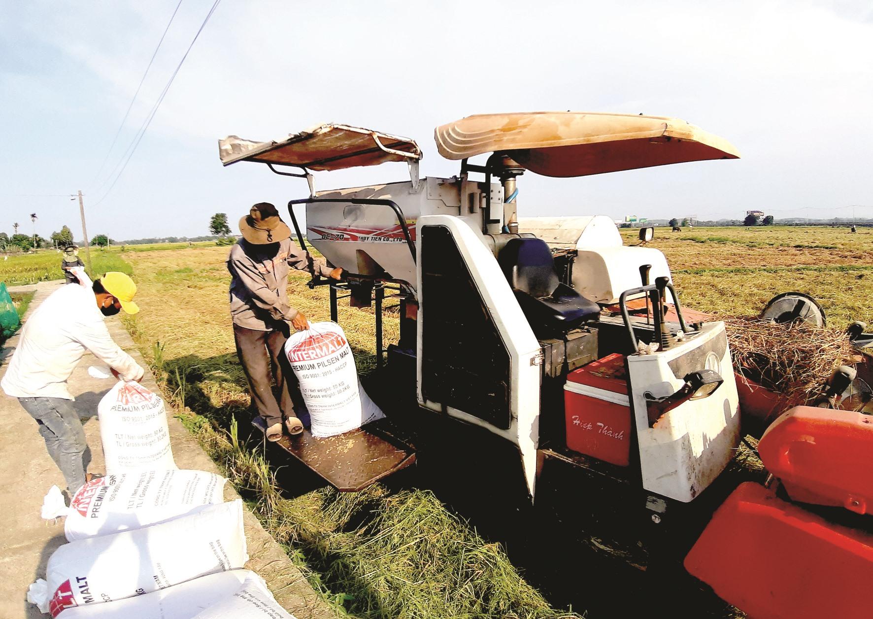 Nông dân trên địa bàn tỉnh đang khẩn trương thu hoạch lúa đông xuân. Ảnh: VĂN SỰ