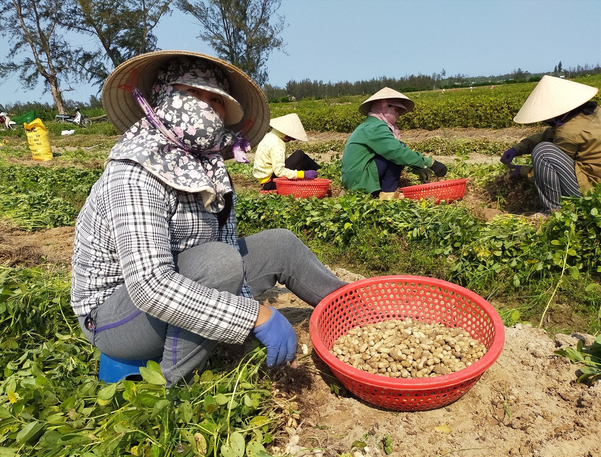 Vụ đông xuân 2019 - 2020, áp dụng phương thức sản xuất nông nghiệp thông minh, thích ứng với biến đổi khí hậu, nông dân xã Bình Giang tiết kiệm khá lớn chi phí sản xuất, cây đậu phụng cho năng suất cao. Ảnh: T.CHÂU