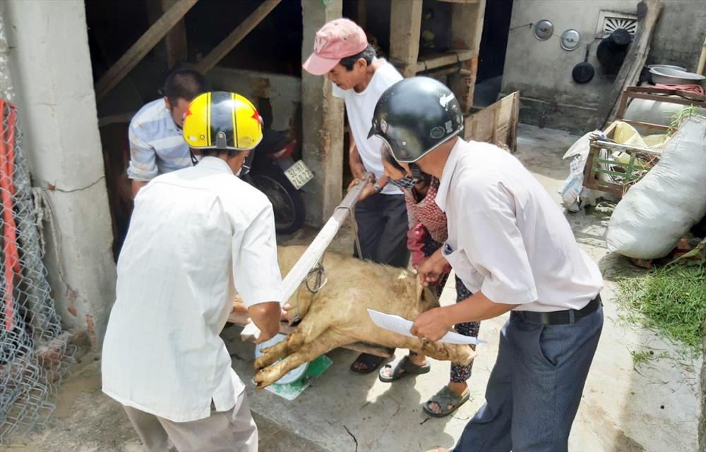 Từ sau ngày 31.12.2019 đến nay, nhiều hộ chăn nuôi ở Thăng Bình có heo bị tiêu hủy do bệnh dịch tả lợn châu Phi vẫn chưa được nhận tiền hỗ trợ. Ảnh: CTV