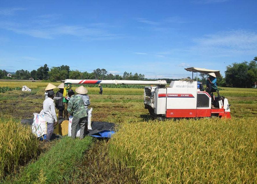 Nông dân Phú Ninh thu hoạch lúa. Ảnh: THANH THẮNG