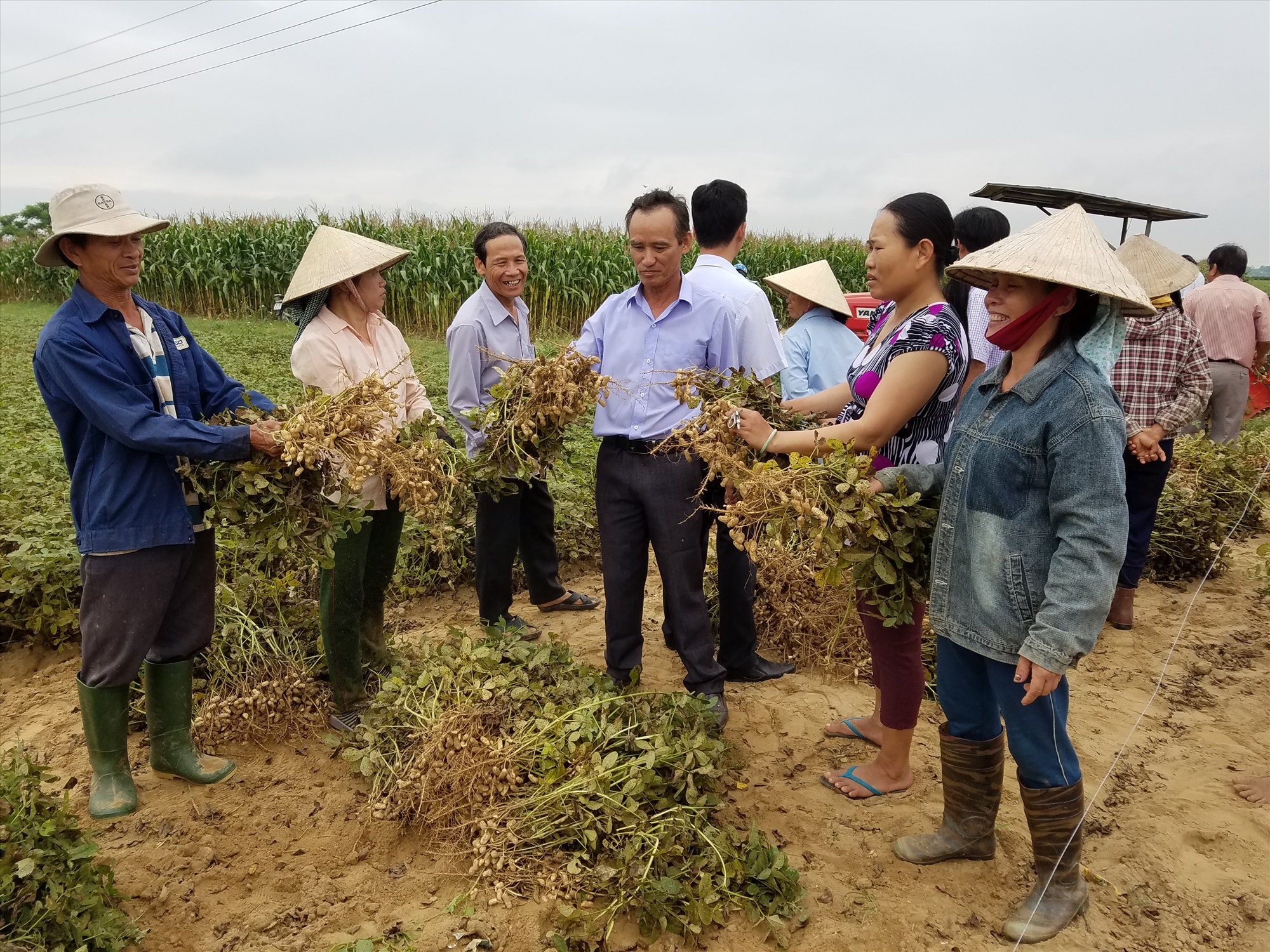 Chuyên canh đậu phụng tạo vùng nguyên liệu sản xuất dầu phụng tại Điện Bàn. Ảnh: Q.T