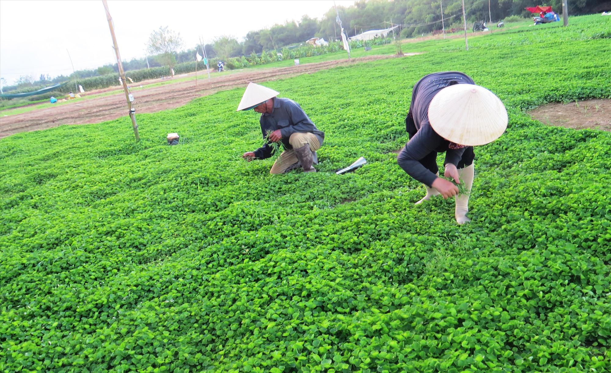 Mô hình trồng rau an toàn tại Khúc Lũy (Điện Minh) cho lãi ròng vài trăm triệu đồng/năm. Ảnh: H.LIÊN