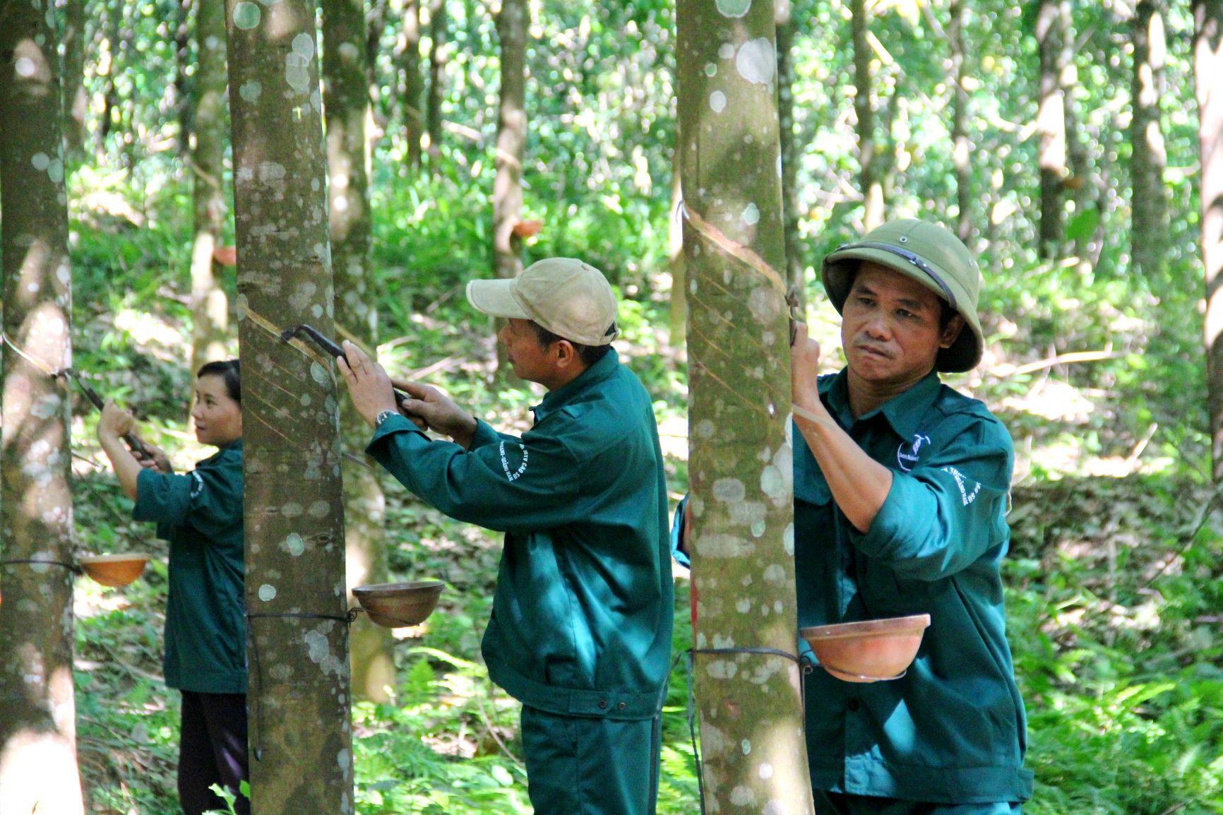 Cao su ở Tây Giang đang trong giai đoạn khai thác nhưng thu nhập của người dân góp đất vẫn rất thấp. Ảnh:T.V