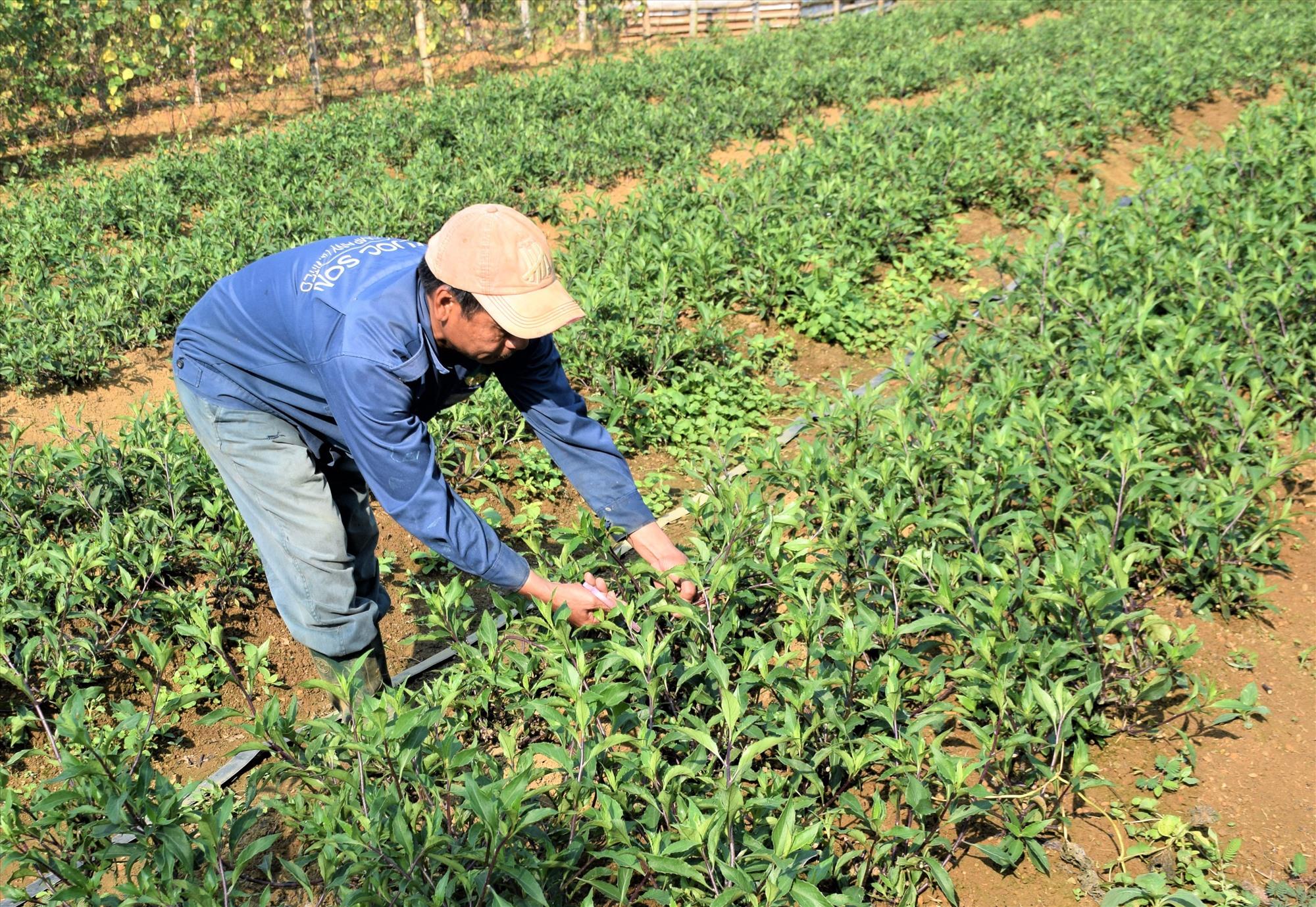Người dân huyện Phước Sơn di thực rau lủi về trồng trong vườn nhà. Ảnh: HOÀI AN
