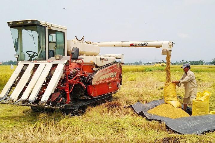 Nông dân Điện Bàn thu hoạch lúa đông xuân. Ảnh: C.T