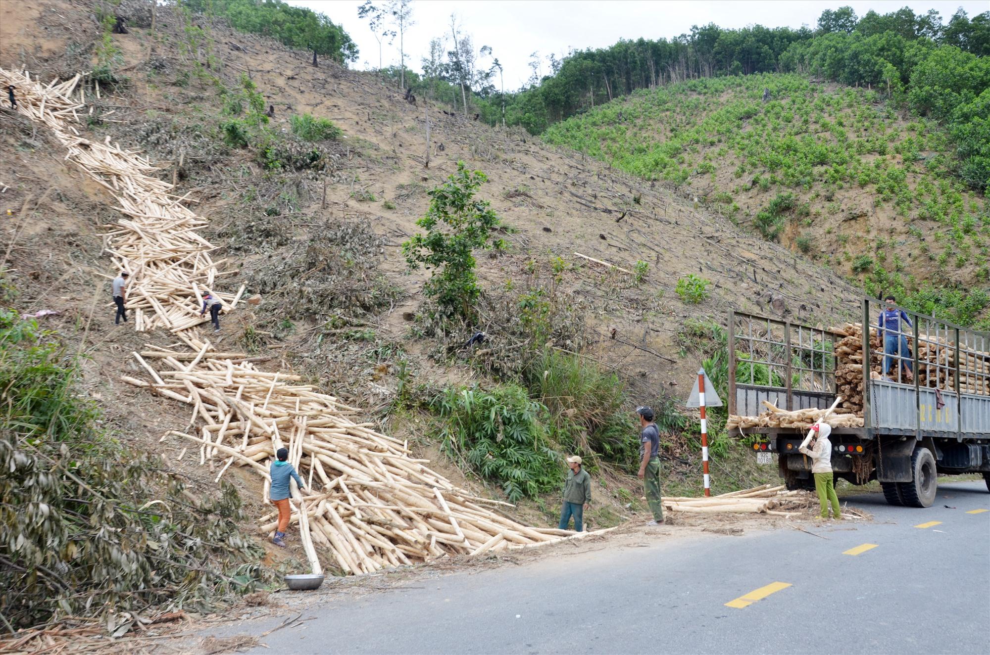 Sản phẩm rừng trồng tại vùng tây bắc của tỉnh hiện vẫn gặp khó khăn trong việc vận chuyển, tiêu thụ. Ảnh: H.P