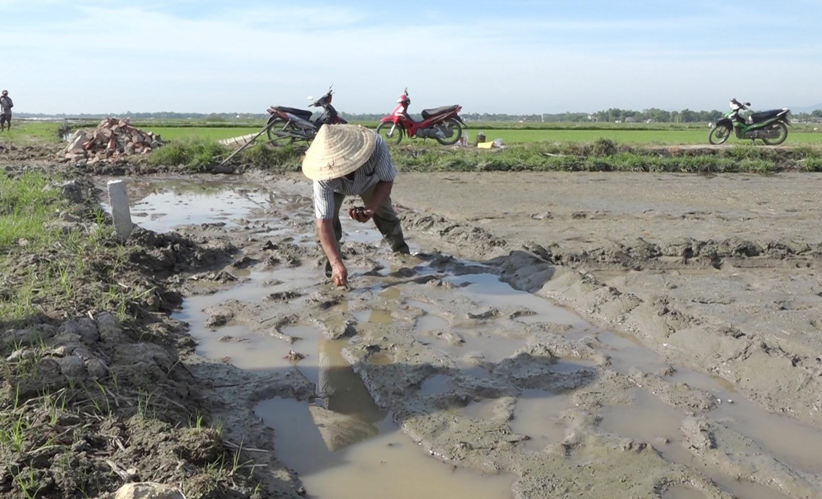 Nông dân chủ động bắt ốc bươu vàng trên đồng ruộng