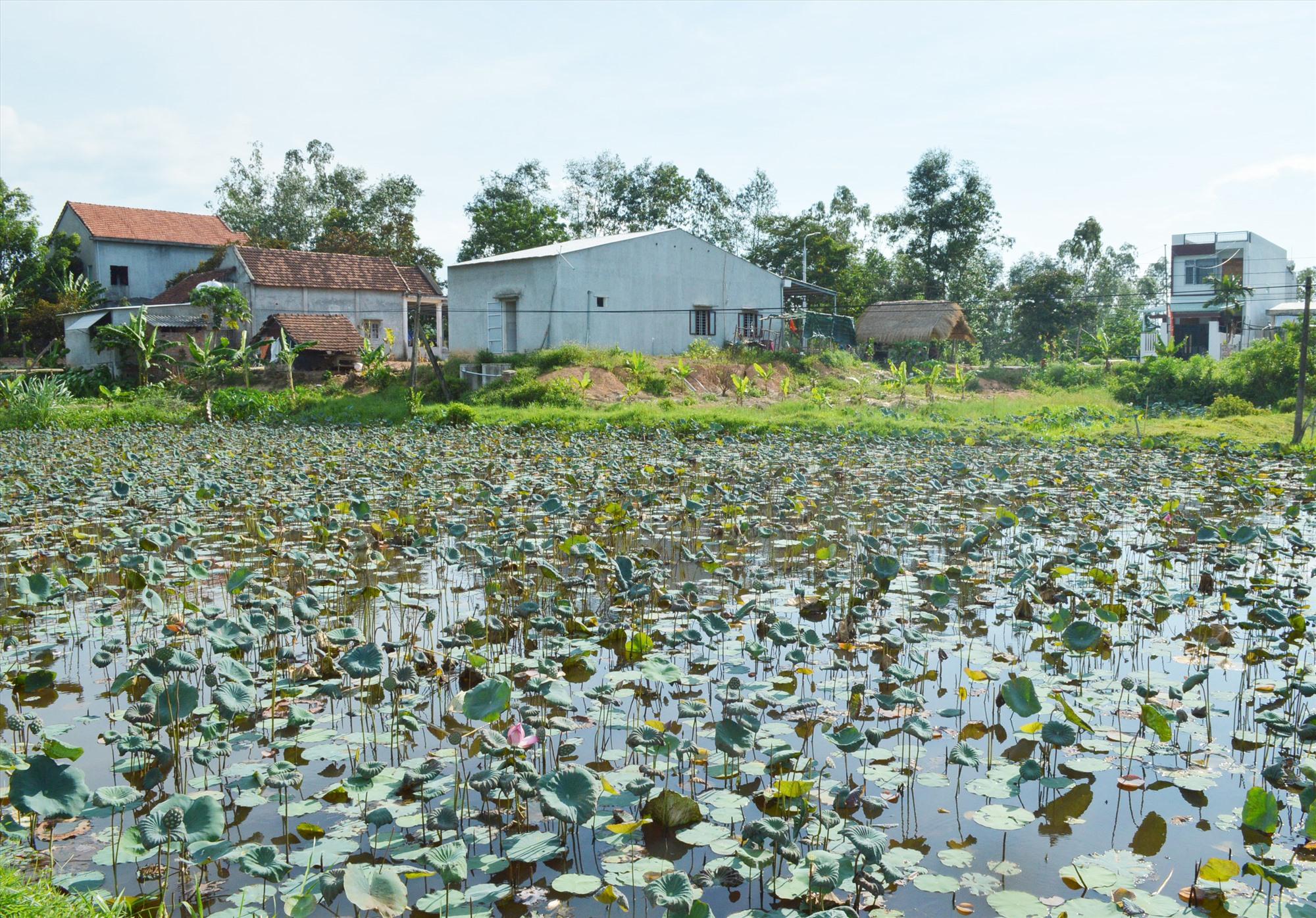Nhiều hộ dân ở Duy Phú (Duy Xuyên) đã cải tạo ruộng lúa kém năng suất sang trồng sen. Ảnh: V.L