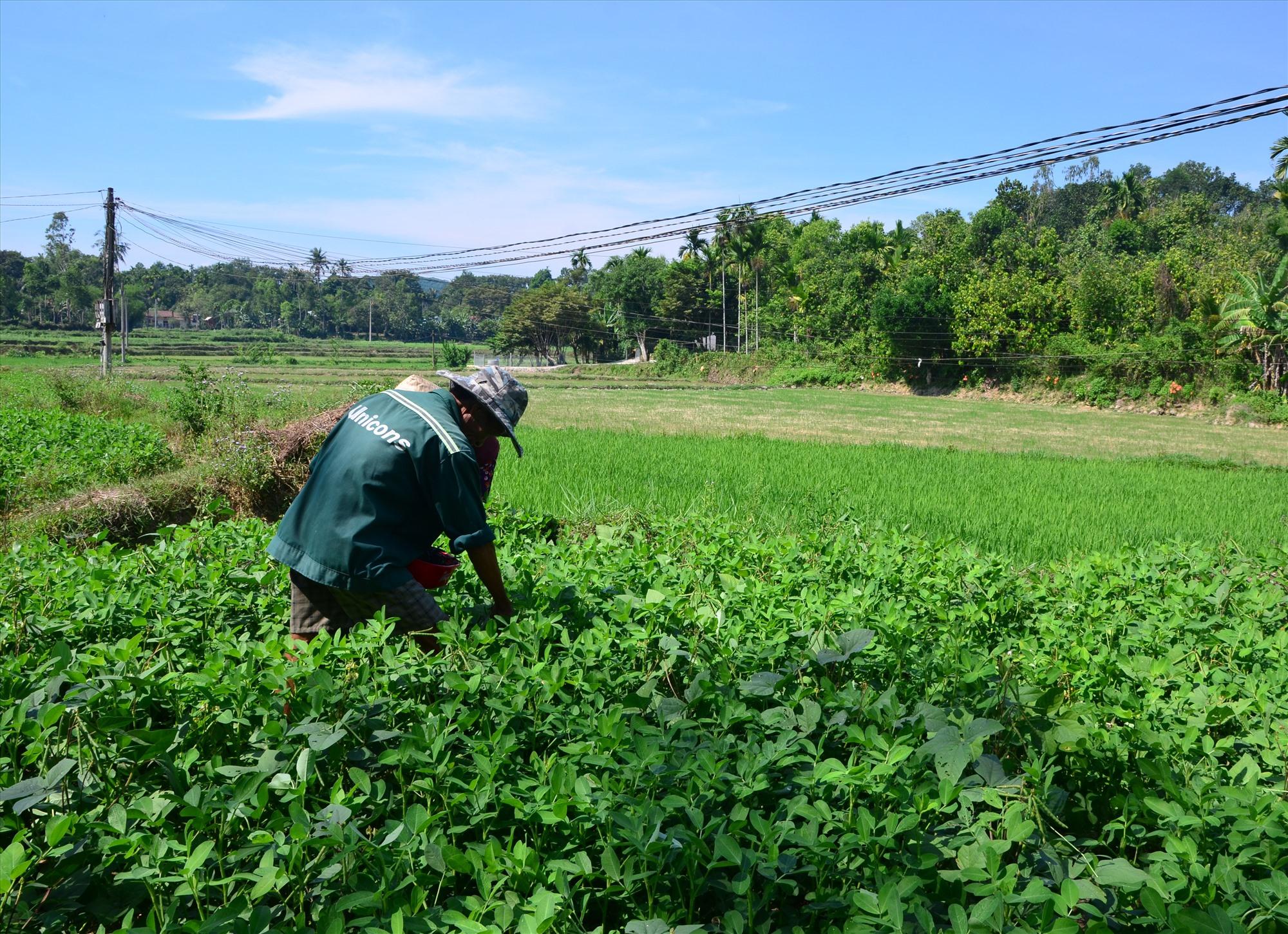 Việc chuyển đổi cây trồng trên đất ruộng một vụ là giải pháp chống hạn hiệu quả được nhiều nông dân ở Tiên Phước lựa chọn. Ảnh: P.H