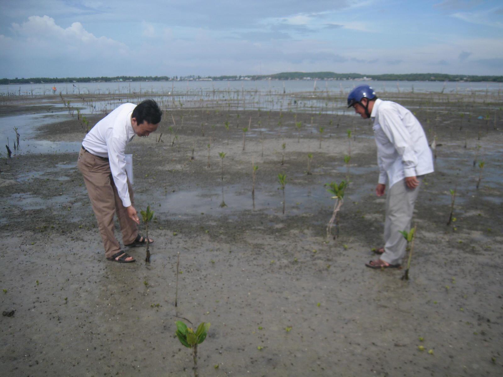 Trồng rừng ngập mặn ven biển ở Núi Thành.