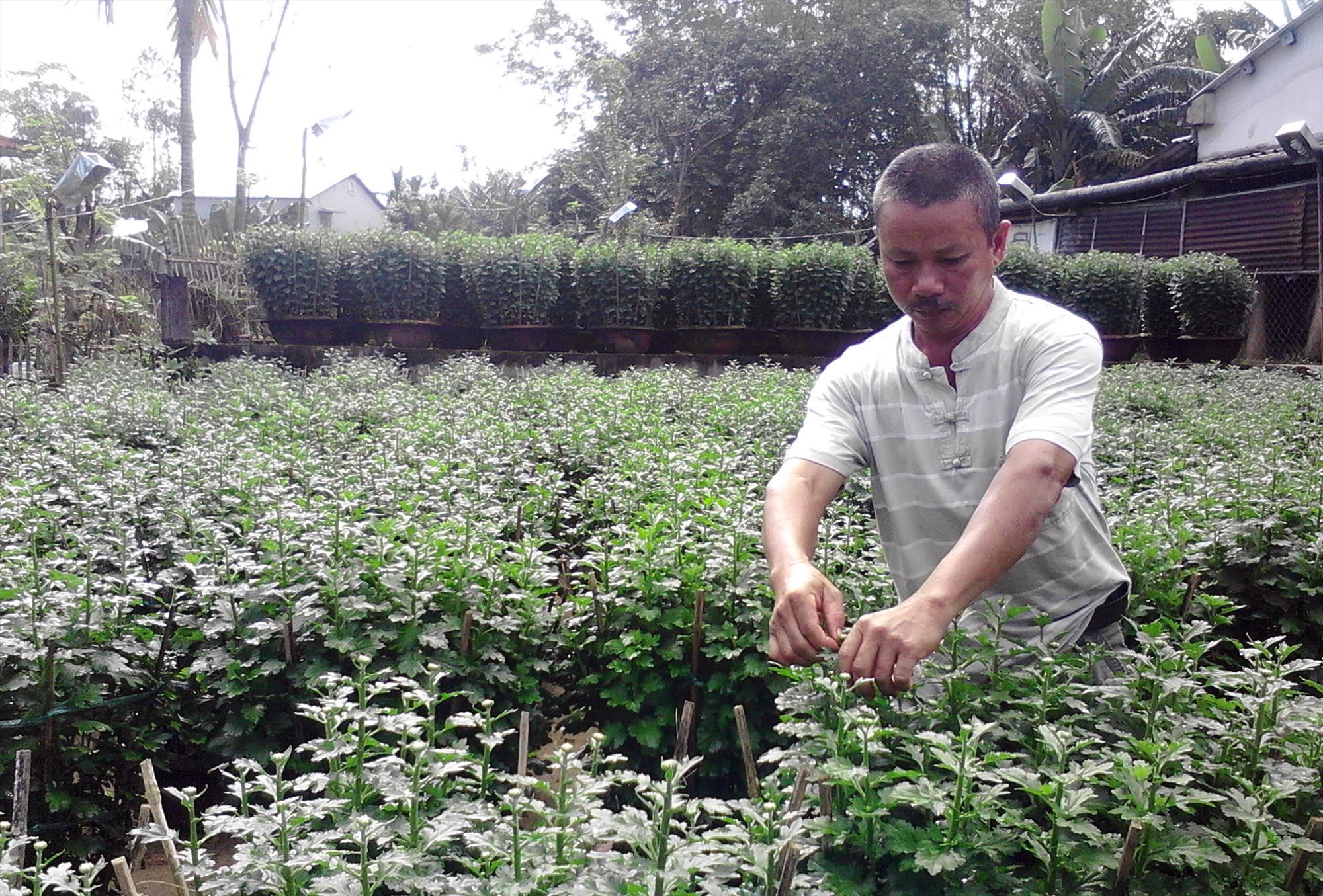 Trồng cây hoa cúc tết ở xã Điện Phong mang lại thu nhập cao. Ảnh: PHẠM LỘC