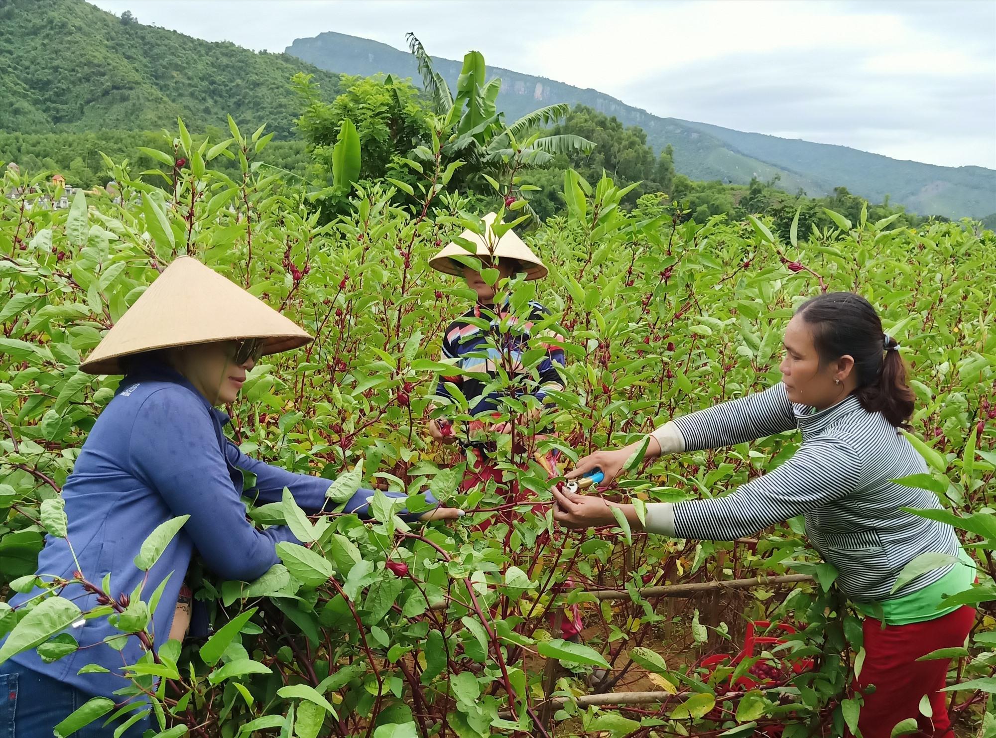 Trồng atiso cho hiệu quả kinh tế trên đất Đại Bình, Nông Sơn. Ảnh: HOÀNG LIÊN