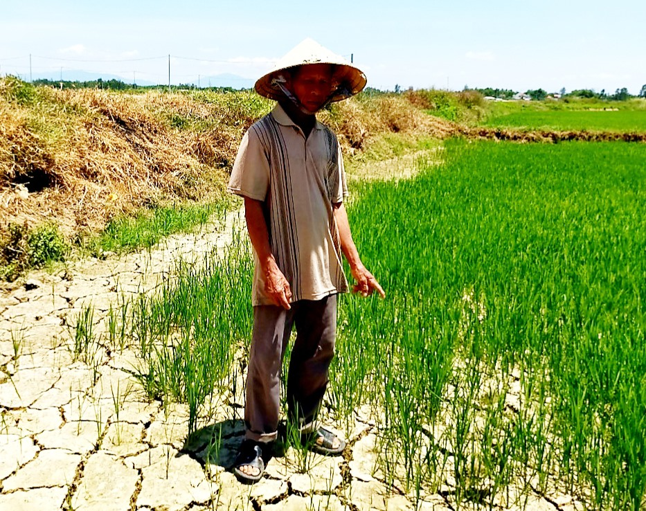 Ông Nguyễn Tấn Thương ở thôn Hà Nam (xã Duy Vinh) đang lo lắng cho 4 sào lúa của mình trước tình trạng khô hạn kéo dài. Ảnh: VĂN SỰ