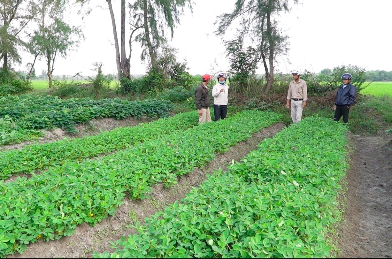 Cánh đồng đậu phụng chuyển đổi cho hiệu quả cao so với cây lúa. Ảnh: PHAN VINH