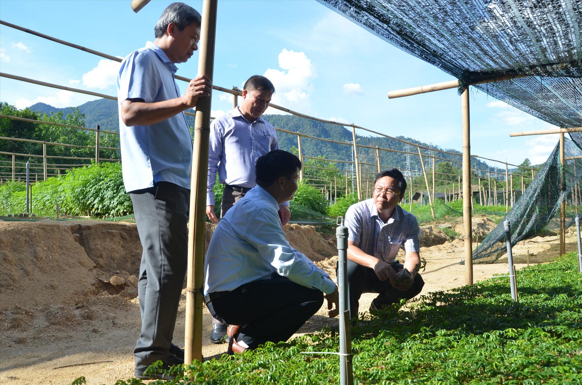 Chủ tich UBND tỉnh Lê Trí Thanh kiểm tra một vườm ươm cây giống trồng để lấy gỗ làm nhà tại Khu bảo tồn thiên nhiên Sông Thanh. Ảnh: H.P